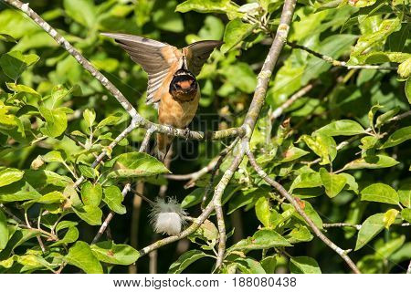 Male Barn Swallow at vancouver bc canada
