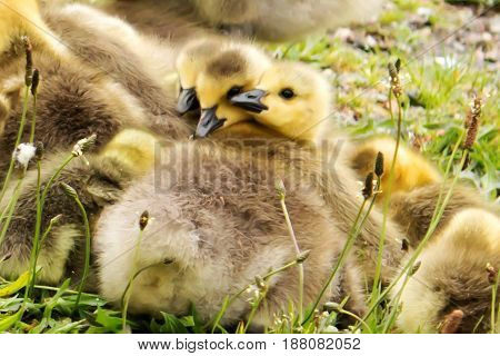 Three very young baby Canadian geese rest on their siblings