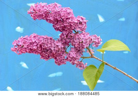 Burgundy lilac branch on a colored background