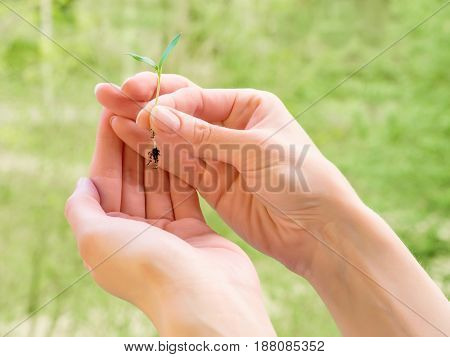 Woman hands holding small green plant seedling. On abstract green background