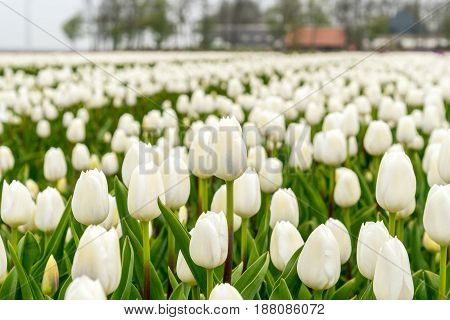 Tulips On The Field