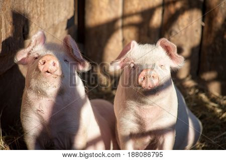 Portrait Of Two Domestic Pigs Looking Through A Fence