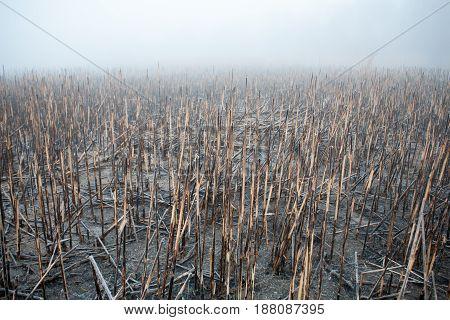 Burnt Stalks Of Reeds On The Island