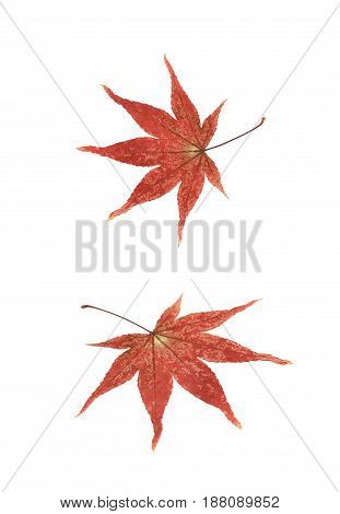 Red Japanese maple leaf isolated over the white background, set of two different foreshortenings