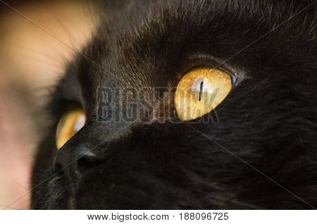 Close-up of a black cat's yellow eyes and nose at sunset