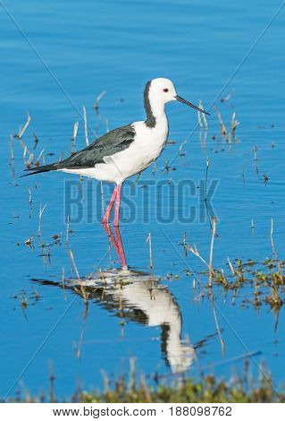 The Black-winged Stilt Common Stilt or Pied Stilt (Himantopus himantopus) is a widely distributed, very long-legged wader in the avocet and stilt family. This example was photographed in Western Australia.