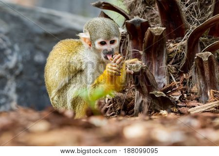 an squirrel monkey is eating on the ground