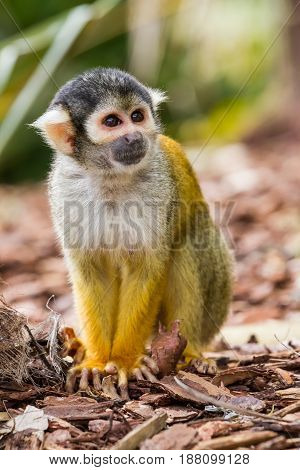 an squirrel monkey is looking around on the ground