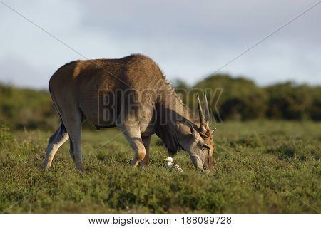 Common Eland Grazing, Addo Elephant National Park