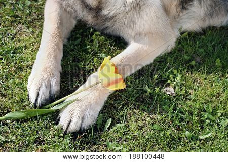 Dog lying on grass with tulip outdoor cropped photo
