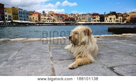 Fluffy shaggy homeless dog on the waterfront of Chania. Nice neat famous houses in the background