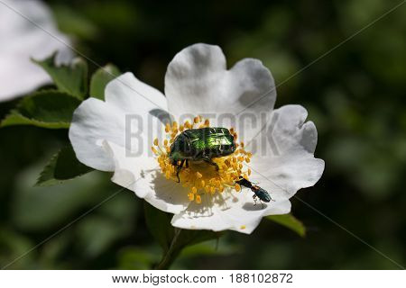 Green Rose Chafer (Cetonia Aurata) is feeding on a flowers. The may beetle basks in the sun on a flower of wild rose