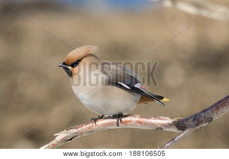 Young Waxwing Is Sitting Among The Branches