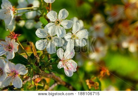 Beautiful white flowers on blooming cherry branch