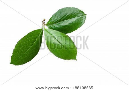 Small green leaves isolated on white background