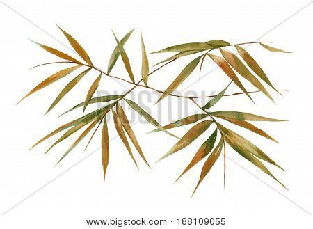 Watercolor illustration painting of bamboo leaves on white background