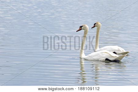 pair of swans swimming side by side