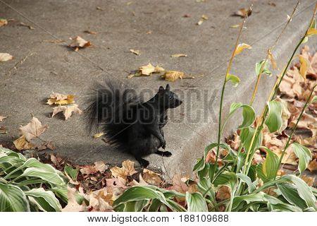 Black squirrel on street in Ottawa, Ontario Canada