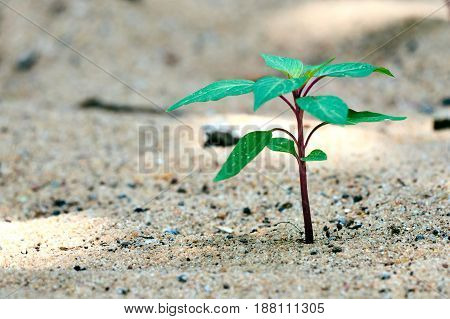 Lone Young sapling on bare sandy ground