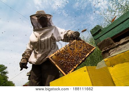 horizontal sideview portrait of beekeeper in protection suit getting out a honey comb from a yellow beehive with bees swarming around