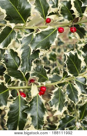 Ilex aquifolium common English European Christmas holly species of evergreen shrub native to western and southern Europe