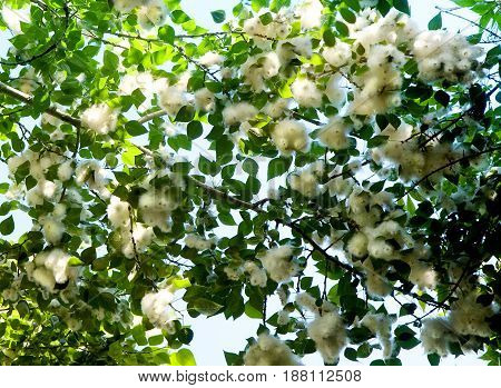 Poplar branches full of fluff causing seasonal allergy