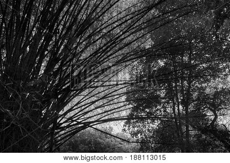 Eerie Grove of tall bamboo trees in black and white