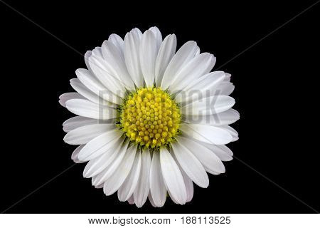 Common Daisy flower head isolated against a black background