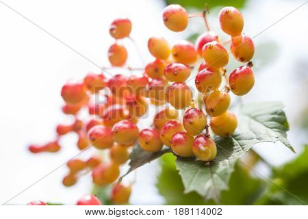Berries of the guelder-rose (Viburnum opulus) shrub wet after the rain. Close-up.