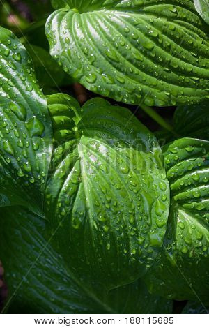 Hosta green leaves with drops of dew. Close-up.