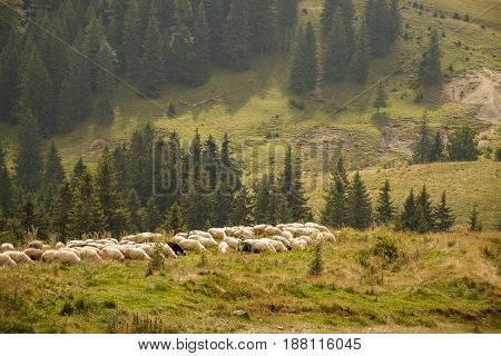 Herd of sheep on a mountain eating grass