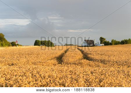 typical danish agricultural landscape with lots of ripe wheat