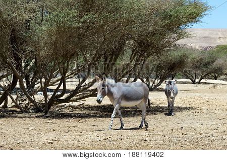 Somali wild donkey (Equus africanus) inhabits nature reserve near Eilat city, Israel