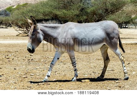 Somali wild donkey (Equus africanus) inhabits nature reserve near Eilat city, Israel