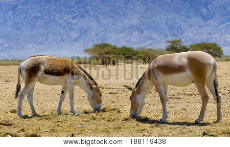 Onager (Equus hemionus) is a brown Asian wild donkey inhabits  nature reserve park near Eilat, Israel