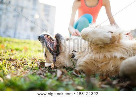 Happy dog with stick in mouth lies at lawn on background of houses