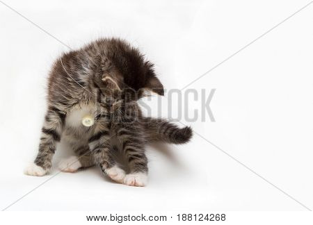 little gray fluffy kitten playing with a button on a string on white background with space for text