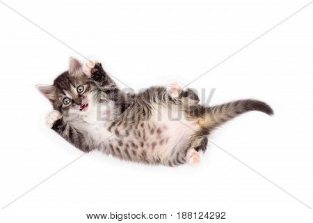 little cute gray fluffy frightened kitten lying on his back isolated on white background
