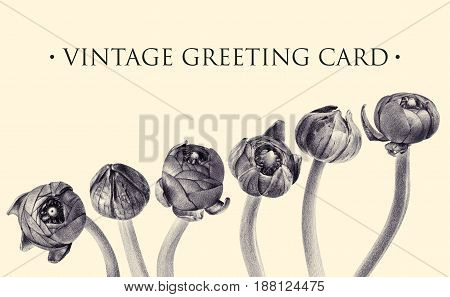 Set of vintage buttercup buds. Botanical natural illustration on white. Spring flowers. Floral greeting card drawn by hand with pencil. Tinted black and white