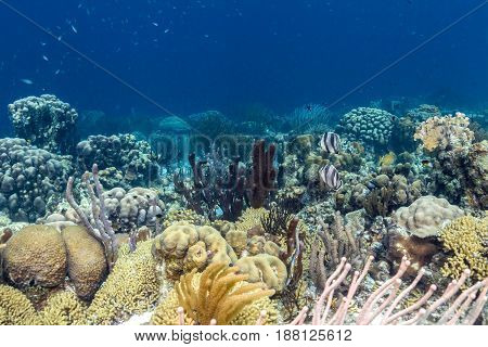Coral reef in Carbiiean Sea with pair of butterflyfish