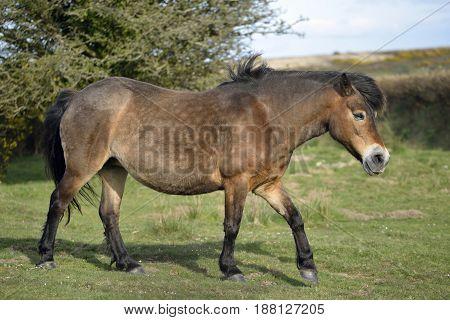 Exmoor Pony walking on Winsford Hill, Exmoor