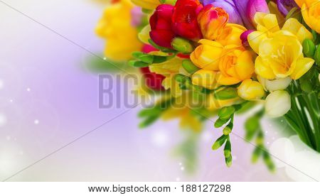 Fresh freesia flowers and buds posy close on violet background banner