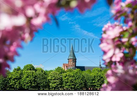 Kaliningrad Cathedral in the natural flowers frame in springtime