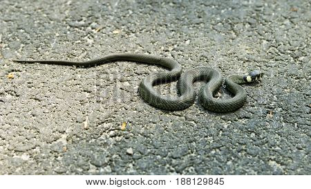 Grass snake on asphalt basking in the sun