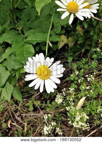 natural smiling daisy in the nature summer