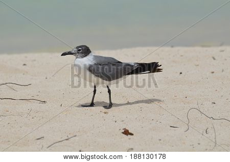 Seagull walking on a white sand beach in the Carribean.