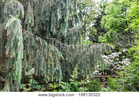 Boughs and Needls of a Spruce Tree in the Pacific Northwest