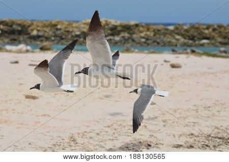 Baby beach with three flying laughing gulls in flight.