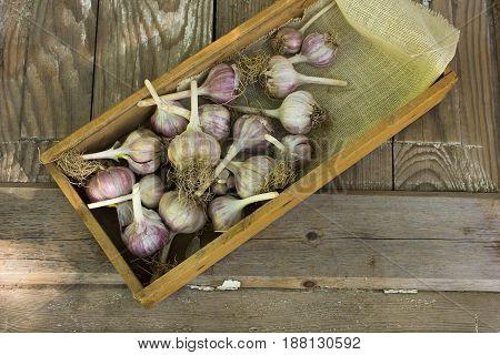 Close-up garlic bulbs and garlic cloves on wodeen background. . Garlic press. Violet garlic. garlic bulbs. Garlic cloves on wooden vintage door.