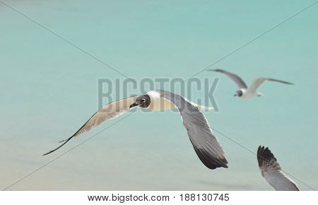 Laughing gull flying over shallow waters in Aruba.